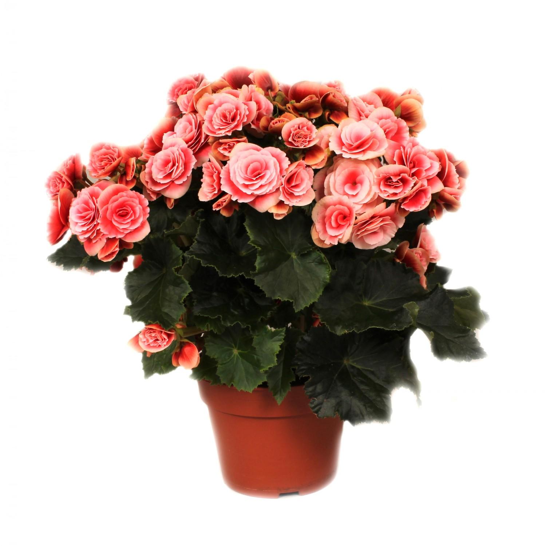 Planta interior Begonia Borias H 45 cm D 17 cm