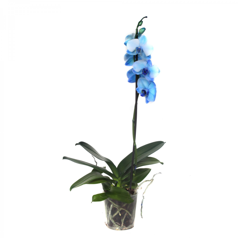 Planta interior Orhidee Phalaenopsis Royal blue D 12 cm A2