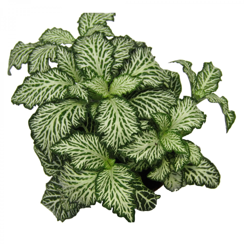 Planta interior Fittonia mix D 8,5 cm