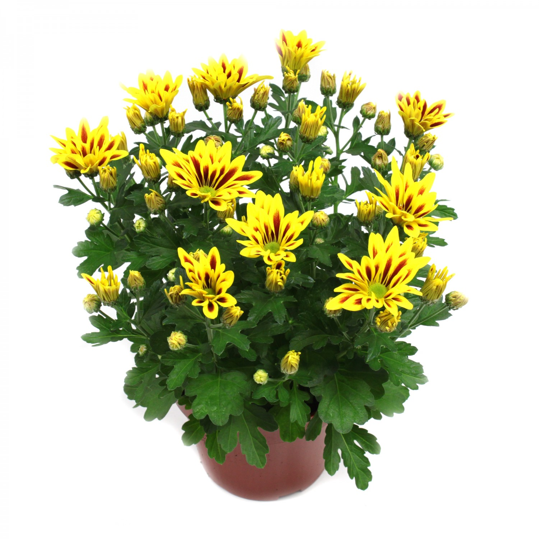 Planta exterior Chrysanthemum Lake Worth H 30 cm D 14 cm