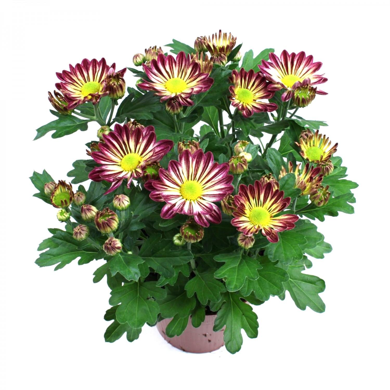 Planta exterior Chrysanthemum Rainbow H 27 cm D 14 cm