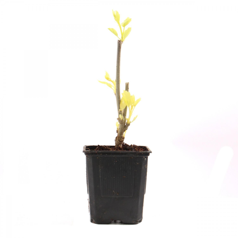 Dedeman Arbust Ornamental Hibiscus Syriacus H 15 25 Cm Dedicat
