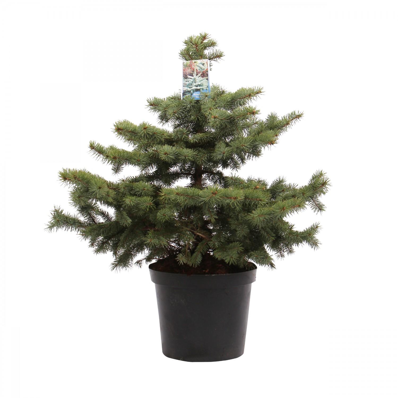Arbore decorativ Picea pungens Super blue (molid argintiu), H 80 - 100 cm, D 32 cm