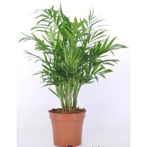 Dedeman chamaedorea elegans h50 d12cm dedicat planurilor tale - Petit palmier d interieur ...