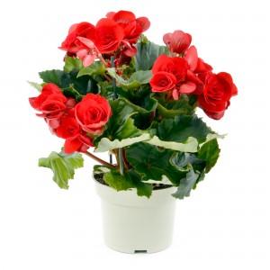 Planta interior Begonia Baladin H 35 cm D 14 cm