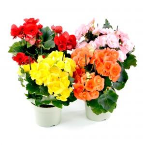 Planta interior Begonia Elatior H 35 cm D 13 cm