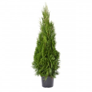 Arbore ornamental Tuia / Thuja occidentalis smaragd, H 80 - 100 cm