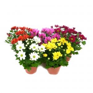Planta exterior Chrysanthemum mix H 25 cm D 12 cm