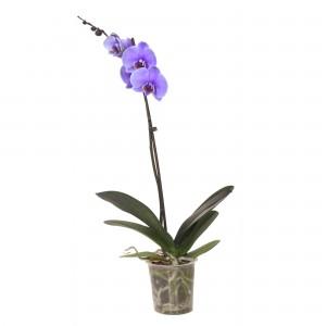 Planta interior Orhidee Phalaenopsis violet H 60 cm D 12 cm