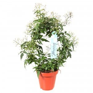 Planta interior Jasminum Polyanthum H 40 cm D 12 cm