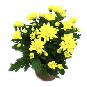 Planta exterior Chrysanthemum Carmel galben H 30 cm D 14 cm