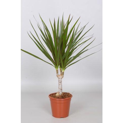Planta interior Dracaena marginata H 45 cm D 12 cm