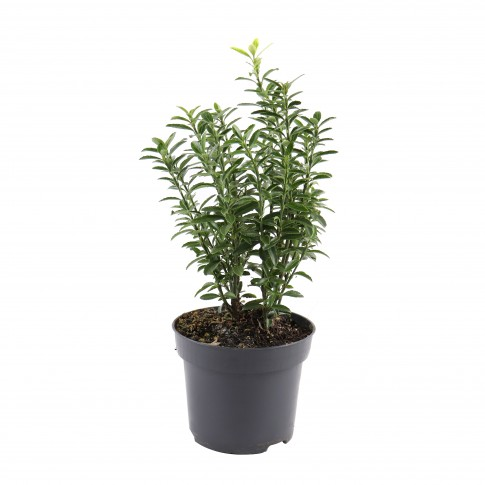 Arbust ornamental - Euonymus mix, H 25 cm, D 12 cm