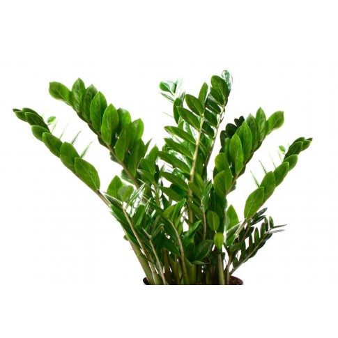 Planta interior - Zamioculcas zamiifolia (planta dinozaur), H 35 cm, D 12 cm