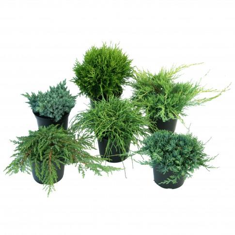 Plante exterior, conifere mix, H 40 cm, D 17 cm