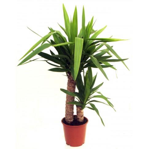 Planta interior - Yucca, H 105 cm