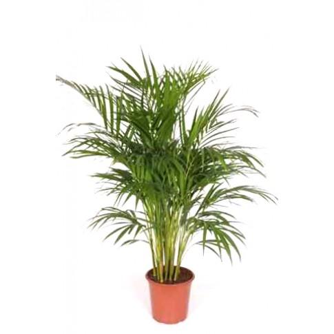 Planta interior - Palmier Areca H 90 cm D 21 cm