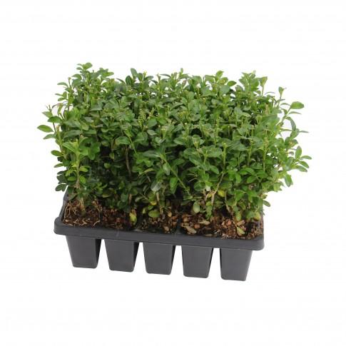 Arbust ornamental Buxus sempervirens pack 10 buc