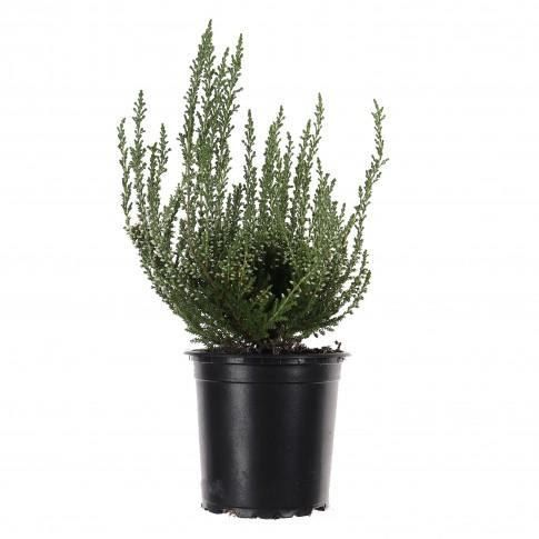 Planta pentru exterior Calluna vulgaris, iarba decorativa, H 22 cm, D 12 cm