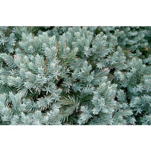 Arbust decorativ Juniperus Squamata blue star, D 17 cm
