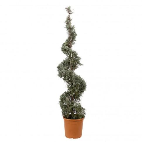 Arbore ornamental Cupressus arizonica, spirala, H 2.5 - 3 m
