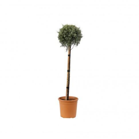 Arbust ornamental Cupressus arizonica CT9L, cu port inalt, H 60 - 80 cm