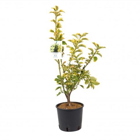 Arbust ornamental - Euonymus CT3L, H 20 - 30 cm