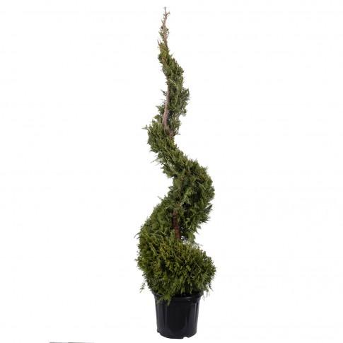Arbore ornamental Cupressus L verde spirala, H 125 - 150 cm