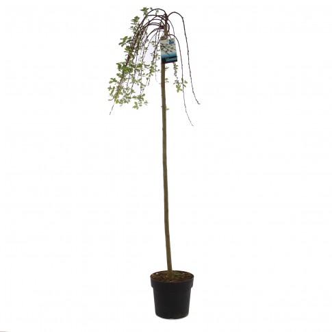 Arbore ornamental salcie - Salix Kilmarnock, H 110 cm, D 23 cm