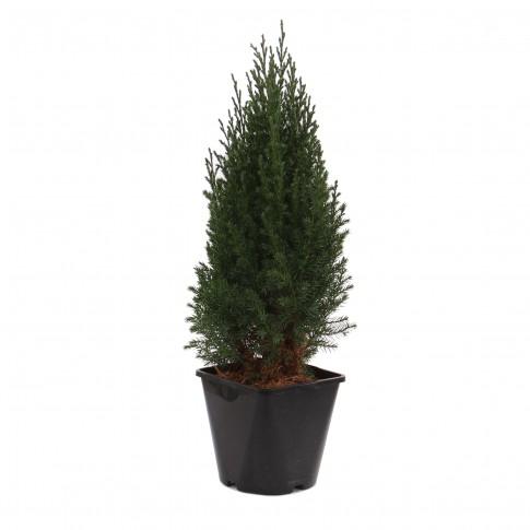 Arbust decorativ Juniperus Stricta, H 50 cm, D 17 cm
