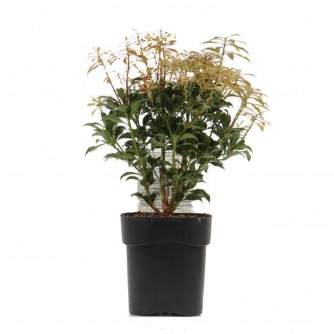 Arbust ornamental Pieris Japonica mountain fire, H 40 cm, D 17 cm