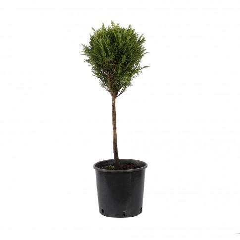 Arbore ornamental Tuia / Thuja occidentalis smaragd glob, H 60 - 80 cm