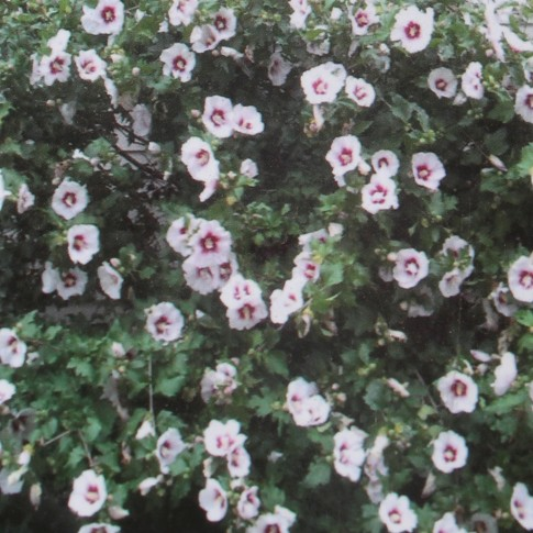Arbust ornamental Hibiscus syriacus, H 50 - 60 cm, 20 fire