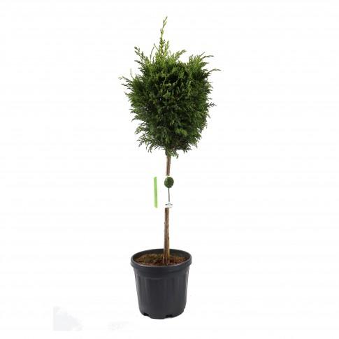 Arbore ornamental Cupressocyparis leylandii verde, H 80 - 100 cm
