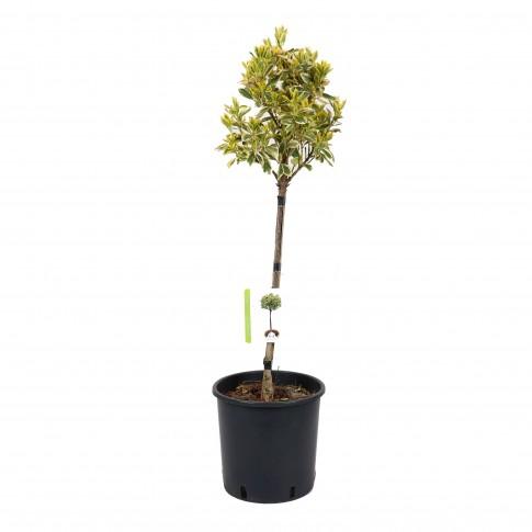 Arbust ornamental - Euonymus aurea, cu port inalt, H 60 - 80 cm