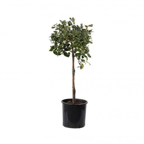Arbust ornamental Ilex Nely Stevens Alberelo, H 40 - 60 cm