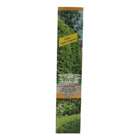 Arbust ornamental Ligustrum ovalifolium (lemn cainesc), H 15 - 25 cm