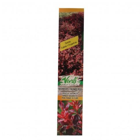Arbust ornamental Berberis thumbergii atropurpure (dracila), H 15 - 25 cm