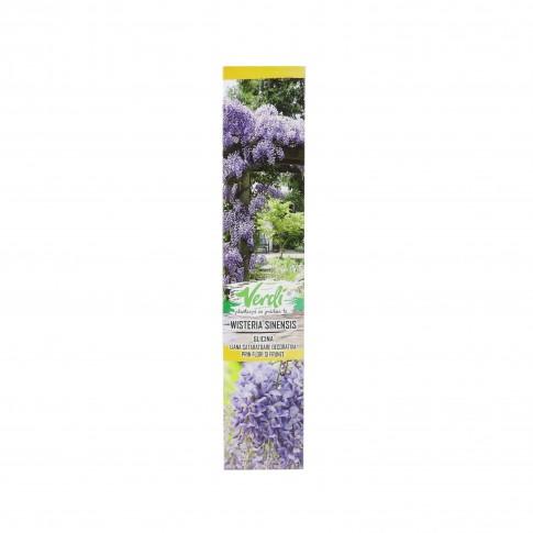 Arbust decorativ Glicina - Wisteria sinensis, H 15 - 25 cm