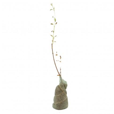 Arbust ornamental Forsythia intermedia, H 15 - 25 cm
