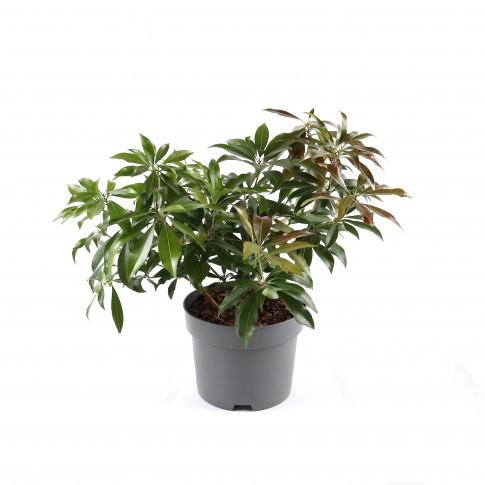 Arbust decorativ Pieris Japonica Katsura, H 30 cm, D 17 cm