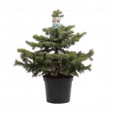 Arbore decorativ Picea pungens Super blue (molid argintiu), H 100 - 120 cm, D 32 cm