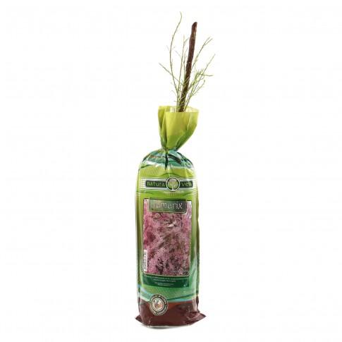 Arbust ornamental Tamarix verdi, H 15 - 25 cm