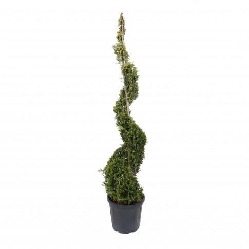 Arbore ornamental Cupressus L aurea, spirala, H 1.5 - 1.75 m