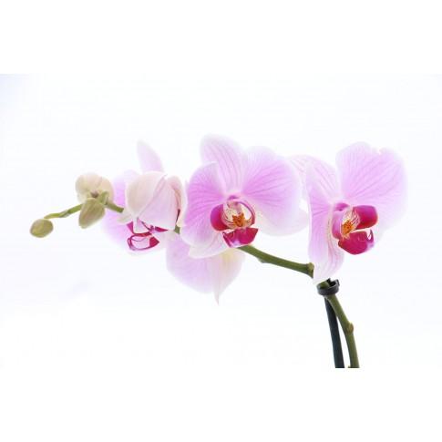 Planta interior, cu flori - Orhidee phalaenopsis,  3-5 flori, H 45 cm, D 12 cm