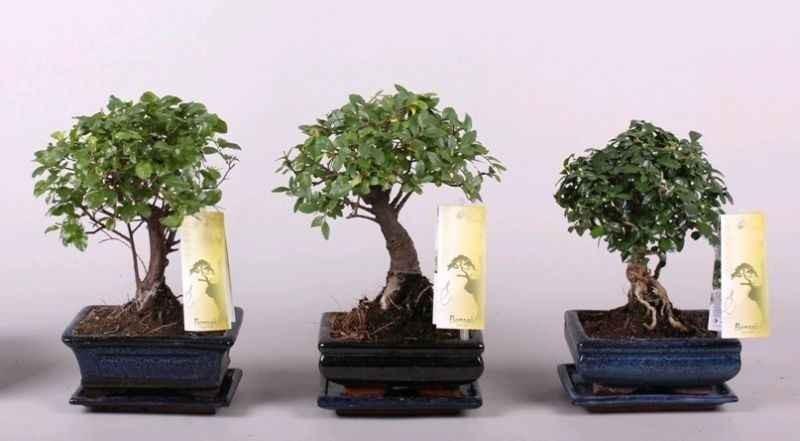Dedeman planta interior bonsai mix bol d 15 cm dedicat for Bonsais de interior