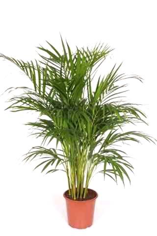 dedeman planta interior palmier areca h 90 cm d 21 cm dedicat planurilor tale. Black Bedroom Furniture Sets. Home Design Ideas