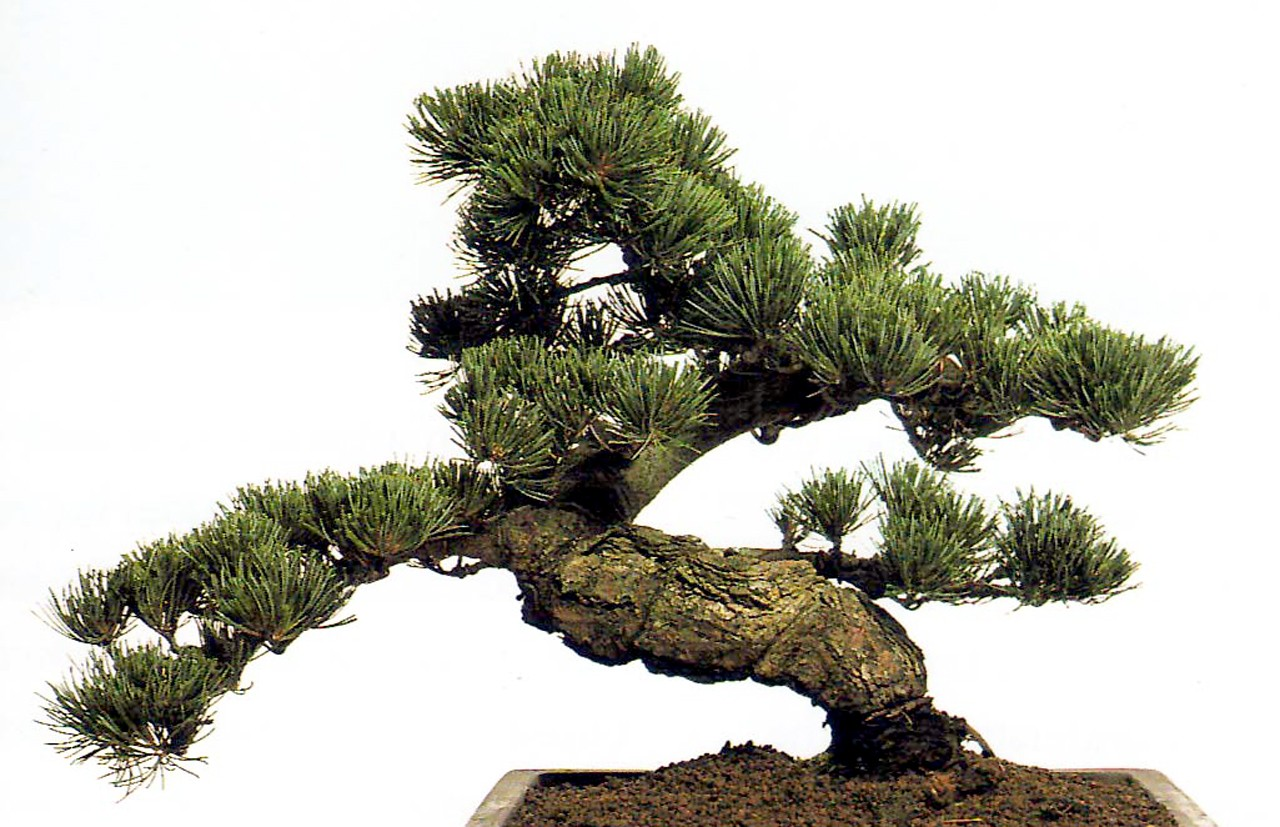 Dedeman planta interior bonsai shangai mix h 35 cm for Bonsais de interior