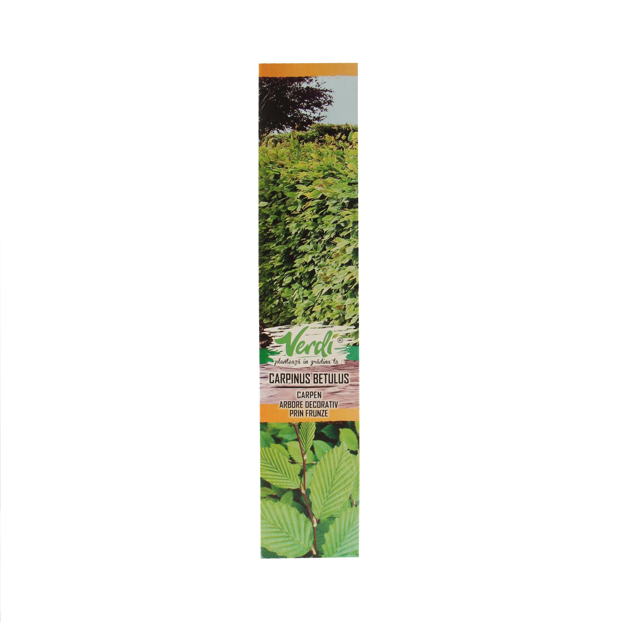 Dedeman Arbore Ornamental Carpen Carpinus Betulus H 15 25 Cm