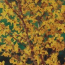 Arbust ornamental Forsythia, H 30 cm, D 17 cm